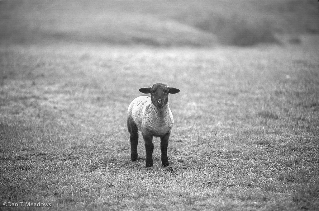 Welsh Lamb, B&W